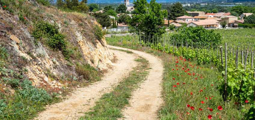 Dirt-road-in-the-middle-of-green-french-vineyard-with-poppies-on-the-side-leading-in-the-Cornas-village-with-the-church-tower-in-a-middle-anna-dufour